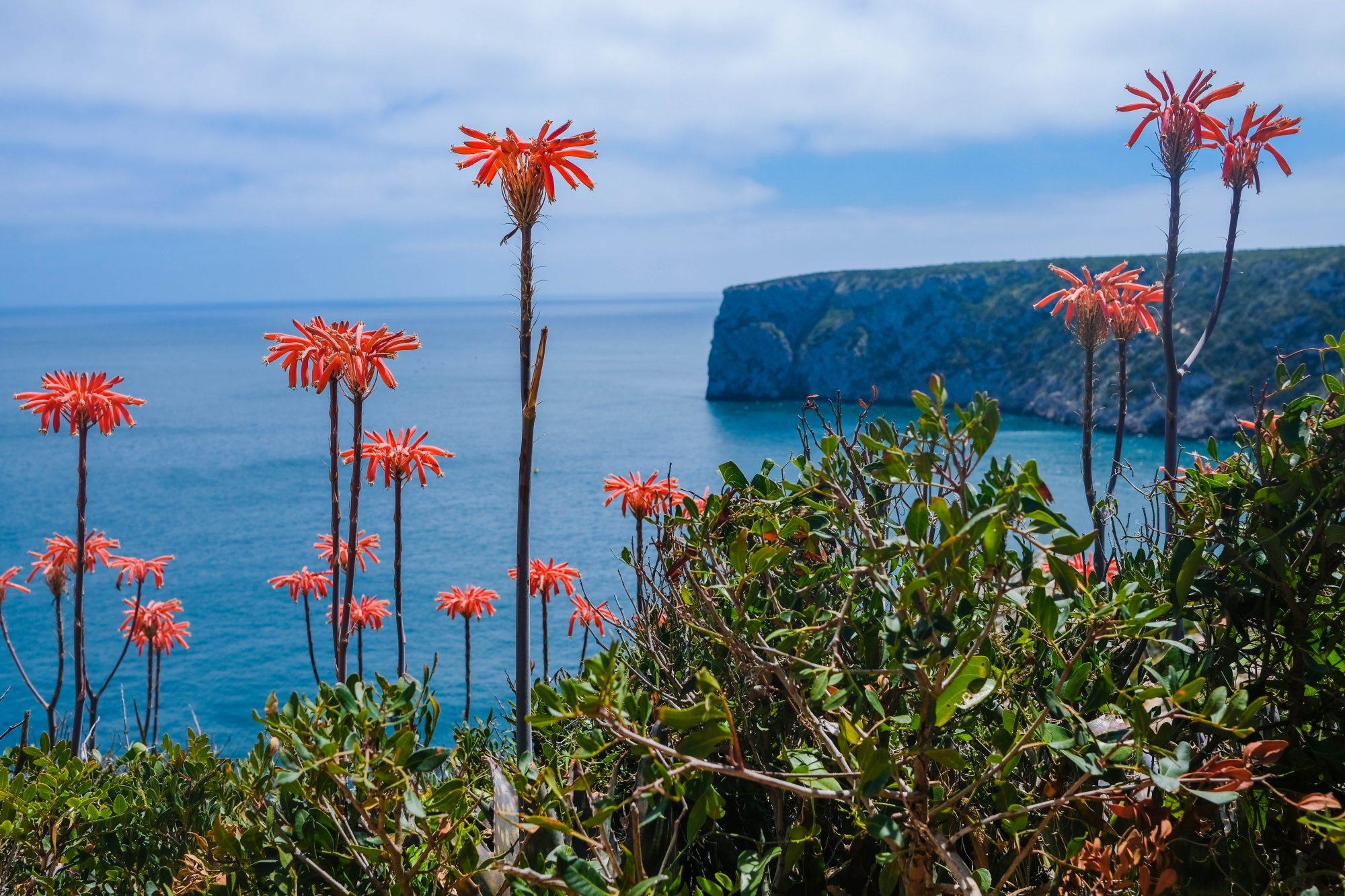 Fleurs sur les falaises - Sagres, Portugal