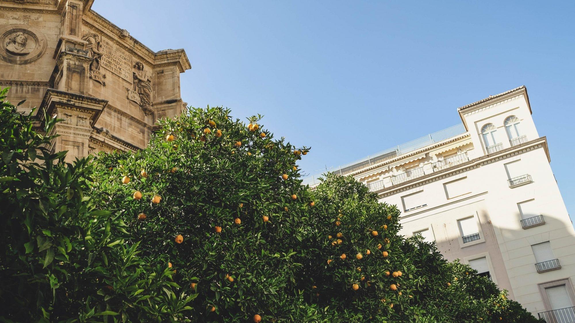 Orangers dans la ville Grenade Andalousie