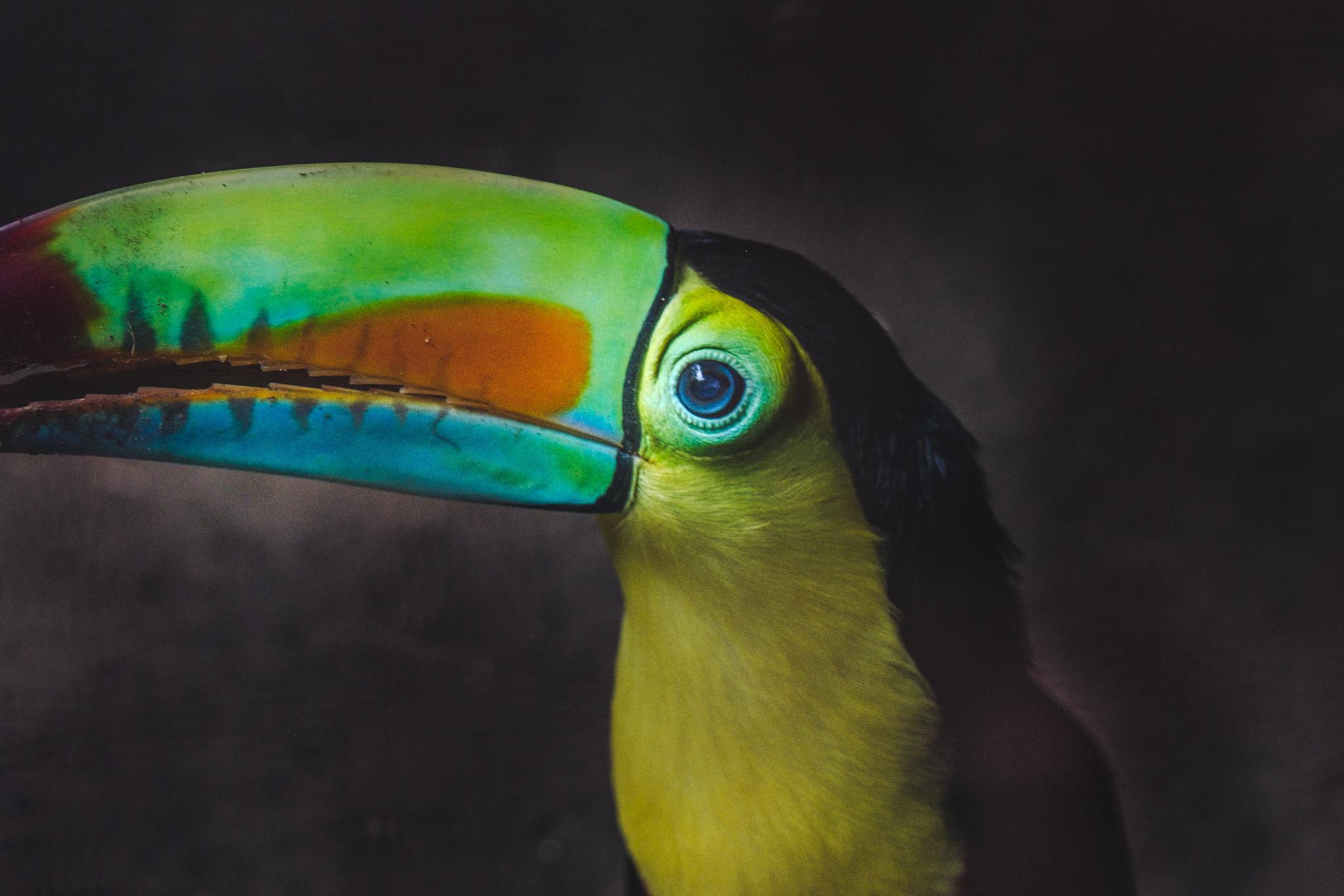 un toucan toco au jaguar rescue center